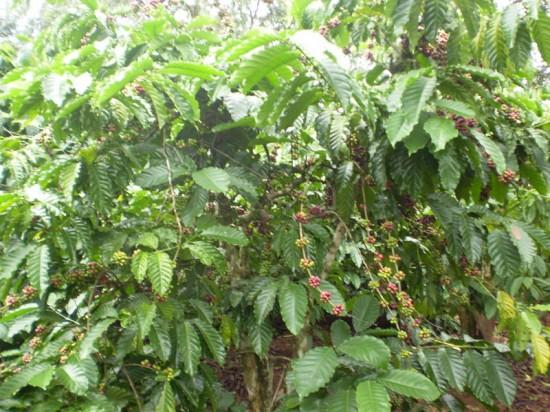 Kỹ thuật chăm sóc cà phê sau thu hoạch - Kỹ thuật chăm sóc